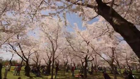 Cherry Blossom Festival 2015 origwx AL_00002621