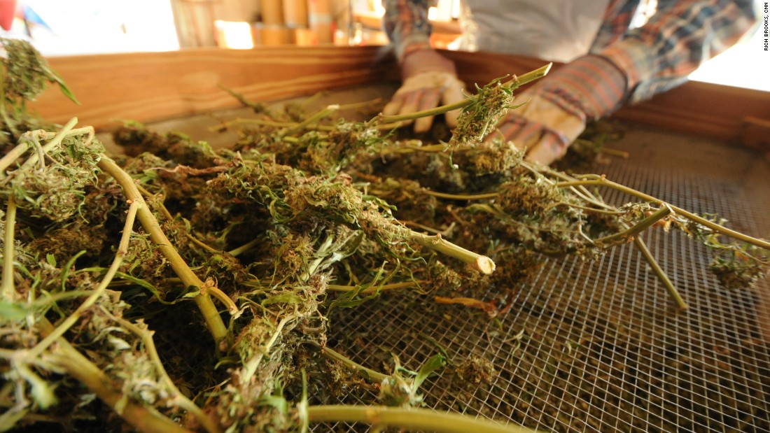 After the plants have been thoroughly dried, they are processed to ensure that the marijuana is completely clean and devoid of seeds, stems, stalks and debris.