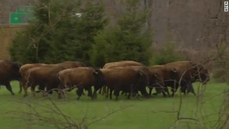 raw Buffalo on the loose_00001806