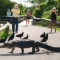 5 ways everglades- gator on trail