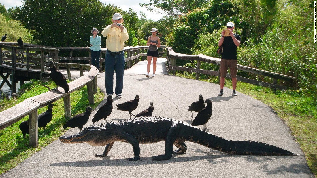 The National Park Service recommends park visitors stay at least 15 feet away from the alligators -- that's not always easy.