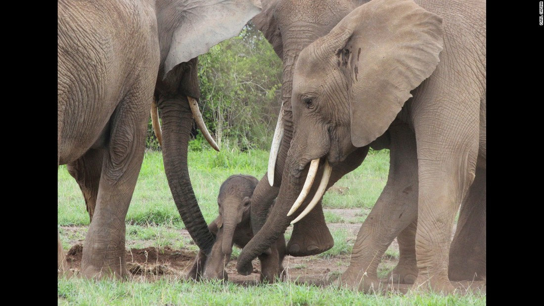 Baby elephant Petula gets assistance from two family members as they help the newborn stand for the first time in Amboseli National Park.