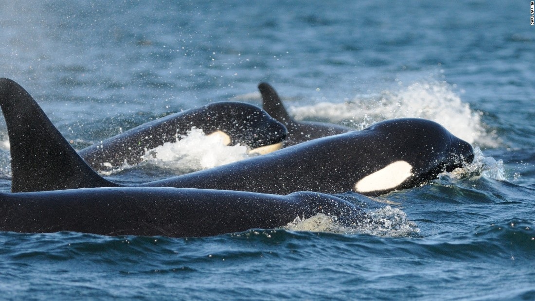 Killer whale family bonds remain strong and lifelong. In no other creature do all children — male and female — stay with their mother for the duration of their life.