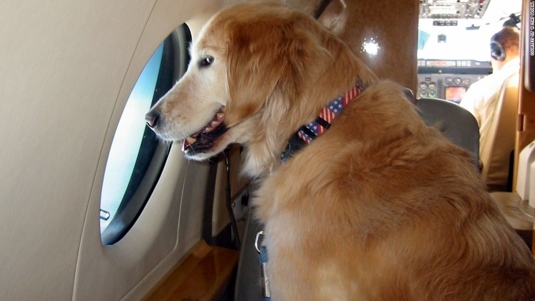 Golden Retriever Dolce relaxes in flight by taking in the sights.