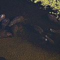 Skyhawk aerial photography hippos