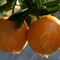 oranges FILE