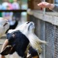 petting zoo goats