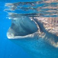 Best-snorkeling--nathab-isla-holbox-whale-shark-c.-Astrid-Frisch