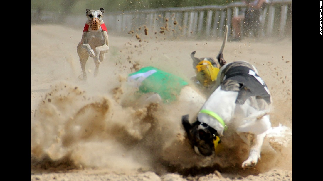 Whippets collide while racing in Ocala, Florida, on Sunday, May 24.