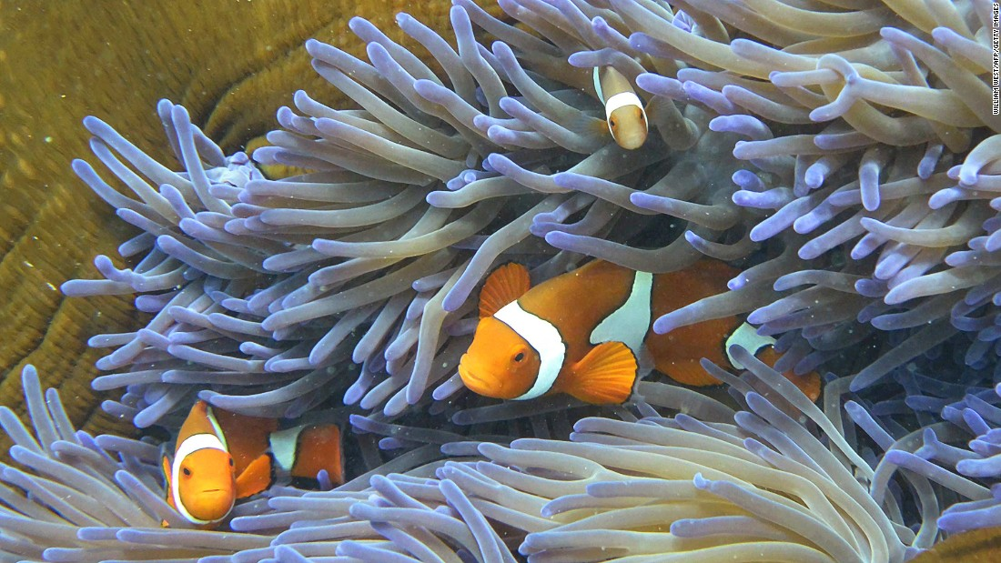 Clown fish swim through coral of the Great Barrier Reef. The famed Aussie attraction is made up of 2,900 individual reefs and stretches more than 2,300 kilometers.