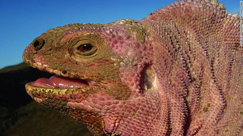 galapagos volcano pink iguana ct hugo arnal intv_00002130