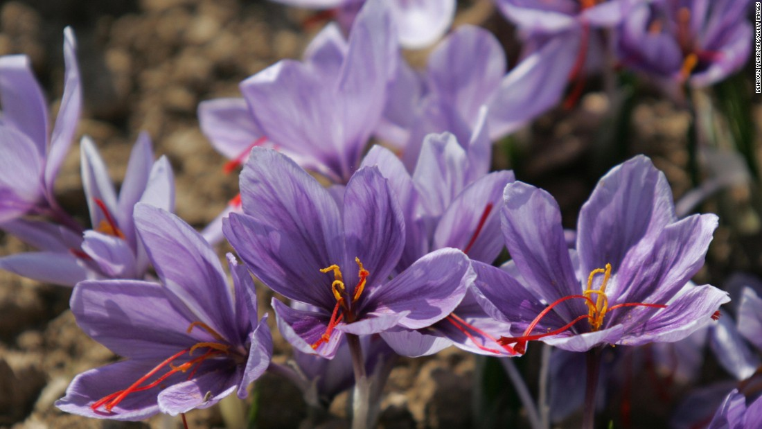 Around 200,000 red strands must be plucked from Crocus Sativus flower to produce each pound of the world's most expensive spice.