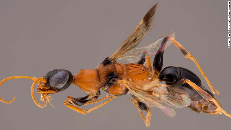 "Meet the ""Soul-Sucking Dementor"" Wasp"