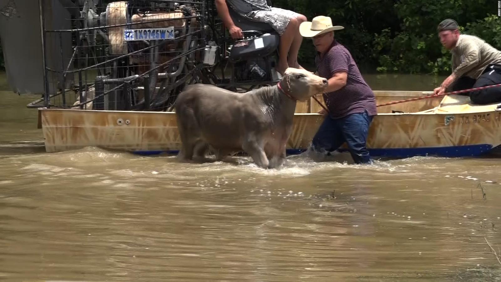 pics] Giovane vacca bagnata presa da due uomini