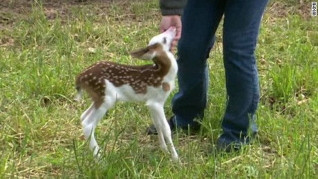 rare white face fawn abandoned by mom pkg_00005920