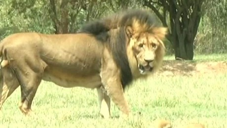 south africa lion attack sot ac_00000708