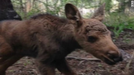 baby moose killed after found woods pkg_00011514
