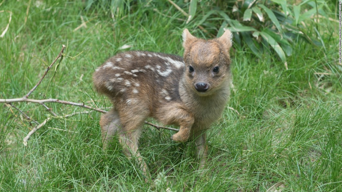 A southern pudu fawn, born in May 2015, walks in its enclosure at the Queens Zoo in New York. The pudu is the world's smallest deer species.