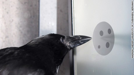 Crows recognize numbers of dots, regardless of size, shape or arrangement, a study says.
