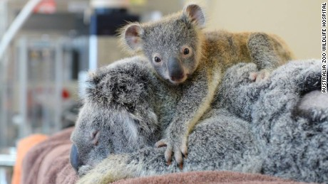 Baby koala won't leave mom during her surgery