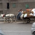 Egypt cattle cart irpt