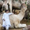 Egypt camel market irpt