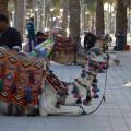 egypt irpt camel Hurghada