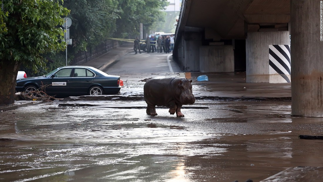 The hippopotamus walks across a flooded street in Tbilisi on June 14.