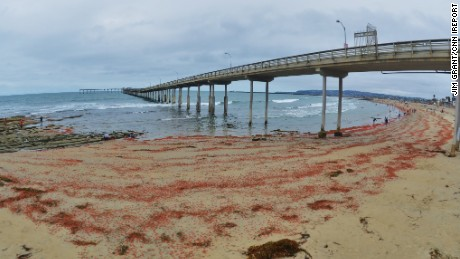 """The sand was sprinkled with red for as far as you could see,"" said San Diego resident Jim Grant, who took these photos. http://ireport.cnn.com/docs/DOC-1249373"