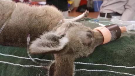 cnnee vo kangaroo survives an arrow shot her head_00002822