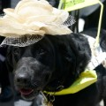 royal ascot dog hat