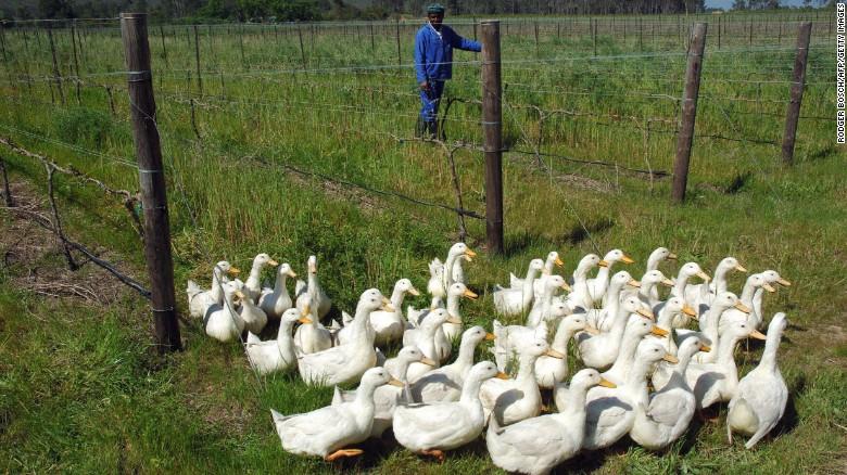 Sommige biologische producenten nemen nog een stap verder, door het gebruik van eenden om hun wijnstokken in vorm 31 mijl van Cape Town te houden zoals hier in Paarl gezien.  De eenden patrouilleren in de lange rijen wijnstokken in de jacht op slakken.  Sluipwespen en kevers worden ook vrijgegeven aan wolluis die zich voeden met planten sap aan te pakken.