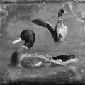 01 cnnphotos bird tintypes RESTRICTED