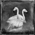 07 cnnphotos bird tintypes RESTRICTED
