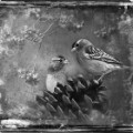 08 cnnphotos bird tintypes RESTRICTED