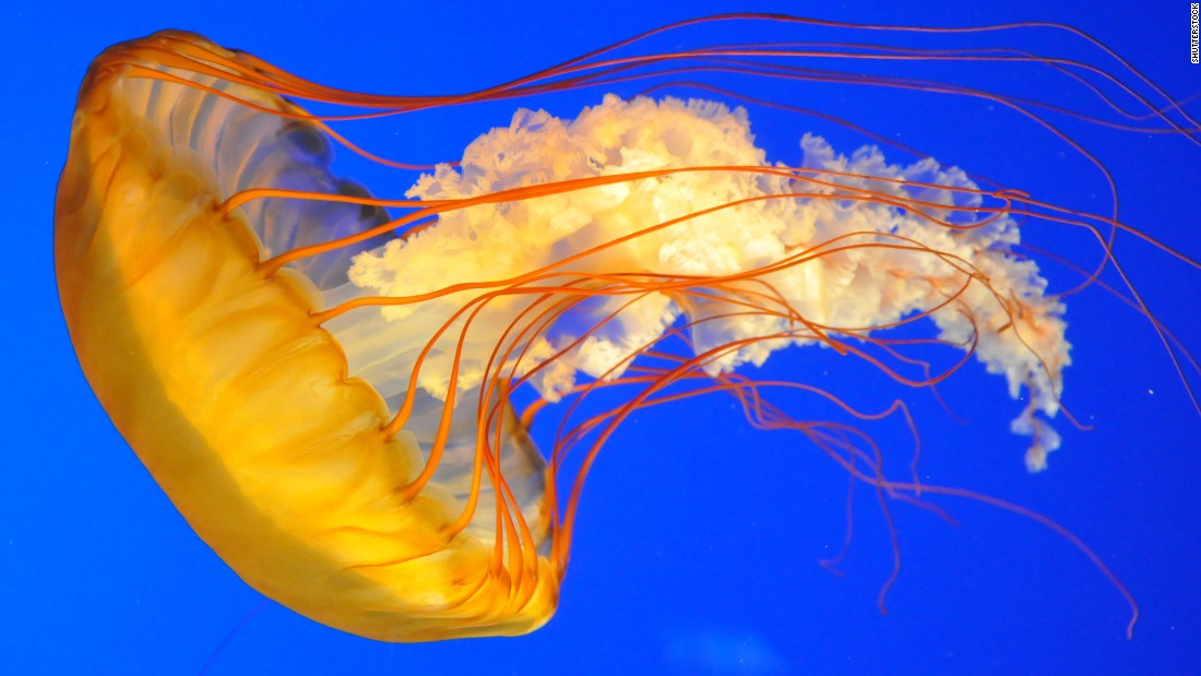 Urine is not an antidote to the venom of a jellyfish. Rinsing the wound with saltwater or using vinegar can be effective.