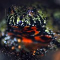 fire bellied toad venom