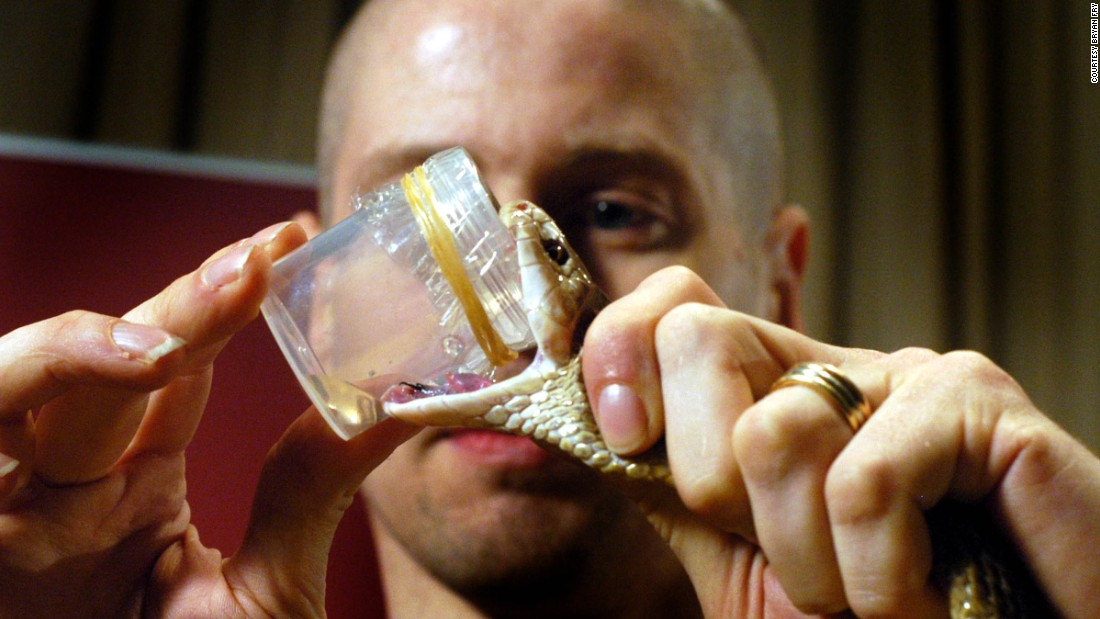 "Snake venom is captured through a process known as ""milking"" -- luring snakes to bite onto a material laid over the opening of a jar."