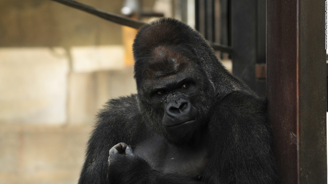 A surprisingly hunky male gorilla, Shabani, has female humans going ape after mugshots of the 18-year-old animal began going viral on Twitter in Japan.