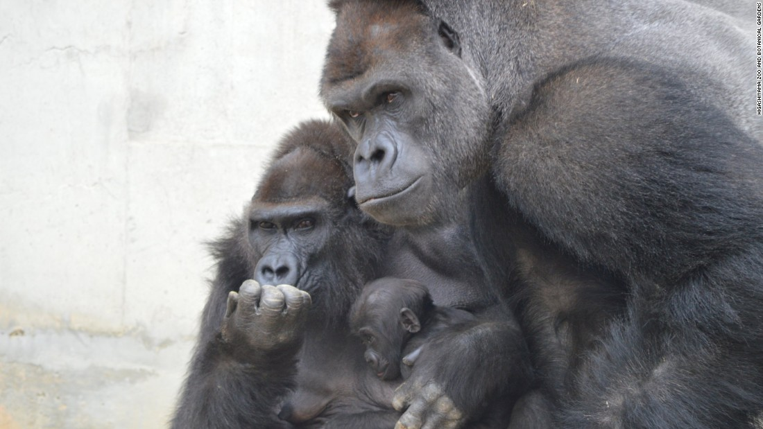 Shabani is no brute: The gorilla is said to be an excellent father.