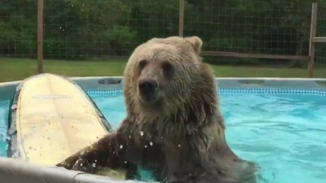 cnnee vo bear swimming in the pool_00001301.jpg
