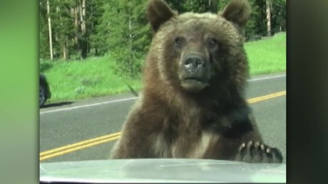 cnnee vo grizly bear scares people in a car _00003001.jpg