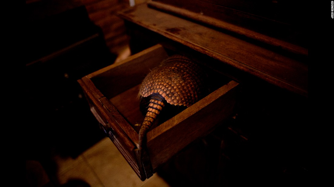 An armadillo finds a cozy spot in a desk.