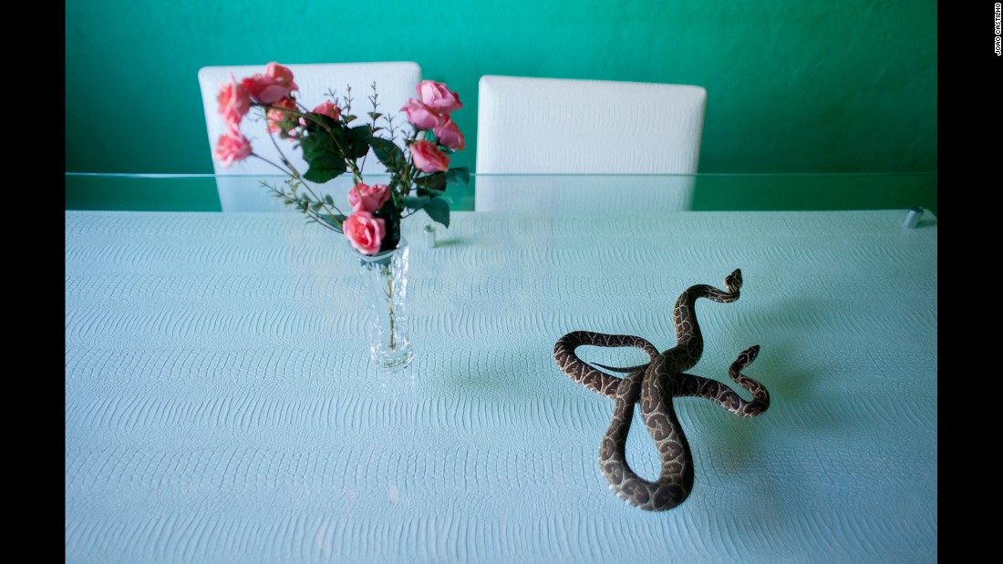 A snake called a urutu slithers on a glass table.