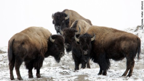 Bison can sprint three times faster than humans can run, park officials say.