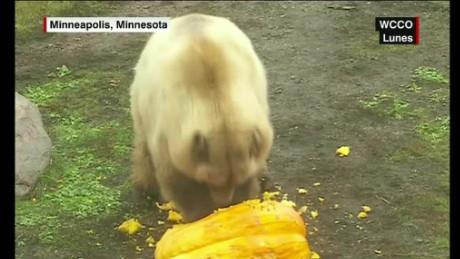 cnnee cafe vo bear break the window of the zoo _00001230