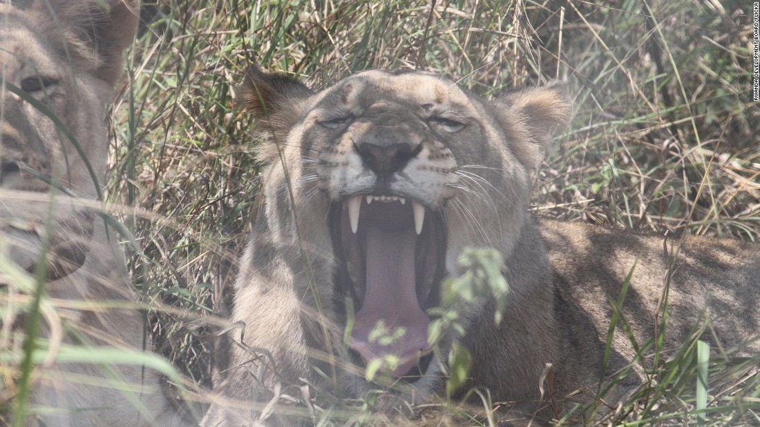 One of the transported lions yawns in her temporary enclosure on July 5.