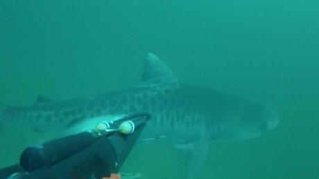 tiger shark spearfishing close encounter dnt_00003603