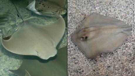Cownose, left, and southren stingray