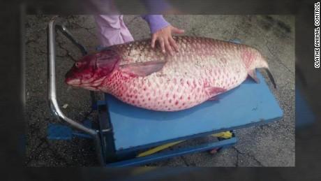 carp found in ditch kansas_00010023